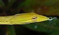 Oriental Vine Snake (Ahaetulla prasina) (8753804607).jpg
