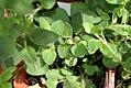 Origanum vulgare 4zz.jpg