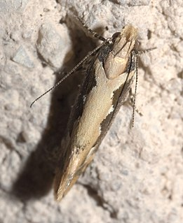 <i>Ornativalva erubescens</i> species of insect