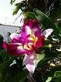 Orquídeas de mi jardín.jpg