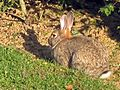 Oryctolagus cuniculus (European rabbit), Valkenburg, the Netherlands.jpg