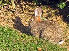 Un lapin beige chiné de gris, avec une queue blanche, des yeux noirs et des grandes oreilles