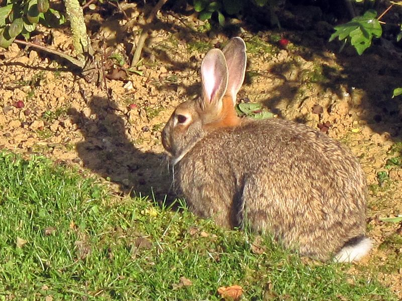 File:Oryctolagus cuniculus (European rabbit), Valkenburg, the Netherlands.jpg