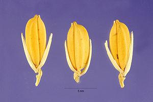Oryza glaberrima - Seeds of Oryza glaberrima