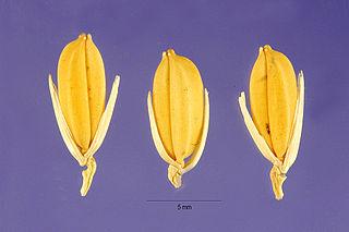 <i>Oryza glaberrima</i> species of plant