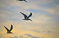 Osteros flying.jpg