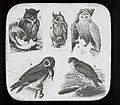 Owls (23092126636).jpg