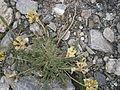 Oxytropis campestris 001.JPG