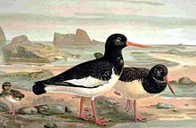 Oystercatcher, drawing by naumann 1905.jpg