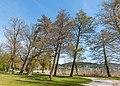 Pörtschach Halbinsel Hans-Pruscha-Weg Parkbäume 15042020 8742.jpg