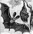 PSM V07 D672 Long eared english bat.jpg