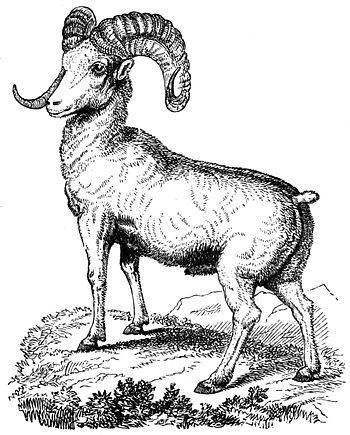 PSM V10 D707 The mountain sheep.jpg