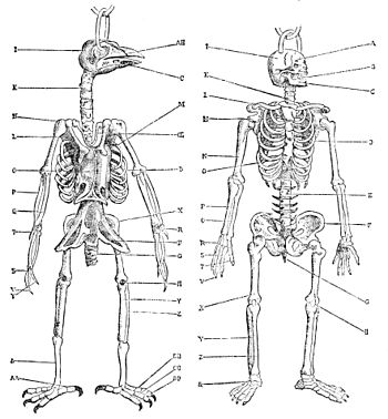 bird skeleton vs human sketch coloring page, Skeleton