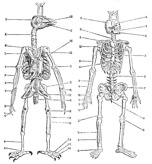 PSM V34 D714 Skeletons of a bird and man.jpg