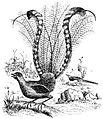 PSM V46 D799 The lyre bird menura superba.jpg