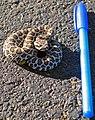 Pacific rattlesnake (Crotalus Oreganus); juvenile (14229009761).jpg