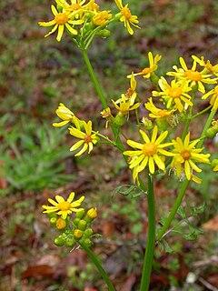 <i>Packera glabella</i> species of plant