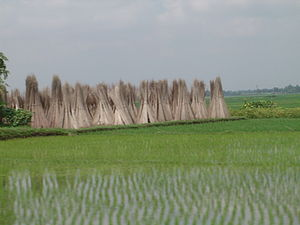Economy of West Bengal - Freshly sown saplings of paddy; in the background are stacks of jute sticks