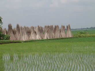 Freshly sown saplings of rice in a paddy; in the background are stacks of jute sticks. PaddyandjuteBengal.JPG