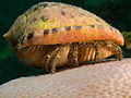 Paguristes punticeps (White Speckled Hermit Crab).jpg