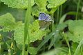 Pale Grass Blue (Pseudozizeeria maha) (15324452700).jpg