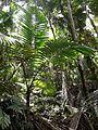 Palm in El Yunque National Forest - Flickr - Jay Sturner.jpg