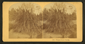 Pamapas grass. Florida, from Robert N. Dennis collection of stereoscopic views.png