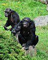 Pan troglodytes - Serengeti-Park Hodenhagen 05.jpg