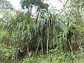 Pandanus furcatus north Bengal AJTJ.JPG