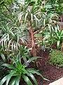 Pandanus montanus - Berlin Botanical Garden - IMG 8715.JPG
