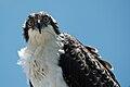 Pandion haliaetus -Sanibel Island, Florida, USA -juvenile-8 (4).jpg