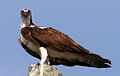 Pandion haliaetus -perching on a post-8.jpg