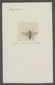 Pangonia - Print - Iconographia Zoologica - Special Collections University of Amsterdam - UBAINV0274 038 06 0002.tif