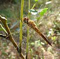 Pantala flavescens - Flickr - gailhampshire (1).jpg