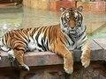 File:Panthera tigris6.ogv