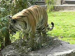 File:Panthera tigris8.ogv