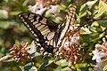 Papillo Machaon-Machaon US-20150710.jpg