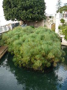 Papyrus - Simple English Wikipedia, the free encyclopedia