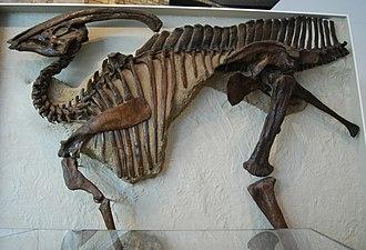 Parasaurolophus - Holotype specimen of P. walkeri, showing the pathologic v-shaped notch