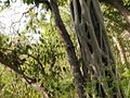 Parasite tree@Jim corbett National Park.jpg