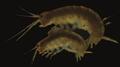 Parhyale hawaiensis - mating pair.png