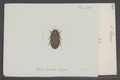 Parnus - Print - Iconographia Zoologica - Special Collections University of Amsterdam - UBAINV0274 018 11 0004.tif