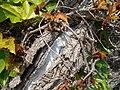 Parthenocissus tricuspidata Veitchii 2017-05-23 0459.jpg