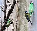 Parus major duo feeder.jpg