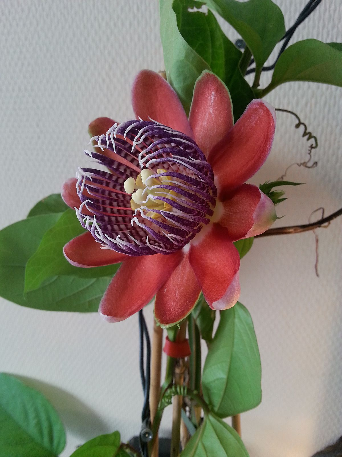 passiflora alata wikip dia. Black Bedroom Furniture Sets. Home Design Ideas