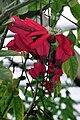 Passiflora racemosa (flowers).jpg