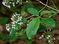 Pavetta crassicaulis in Ananthagiri forest, AP W IMG 9205.jpg