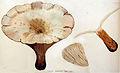 Paxillus giganteus — Flora Batava — Volume v20.jpg