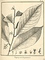Paypayrola guianensis Aublet 1775 pl 99.jpg