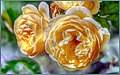 Peachy Autumn Roses (233530711).jpeg